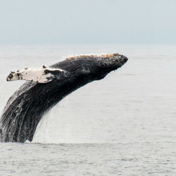 Humpback Breaching Major Marine